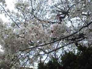 桜100403